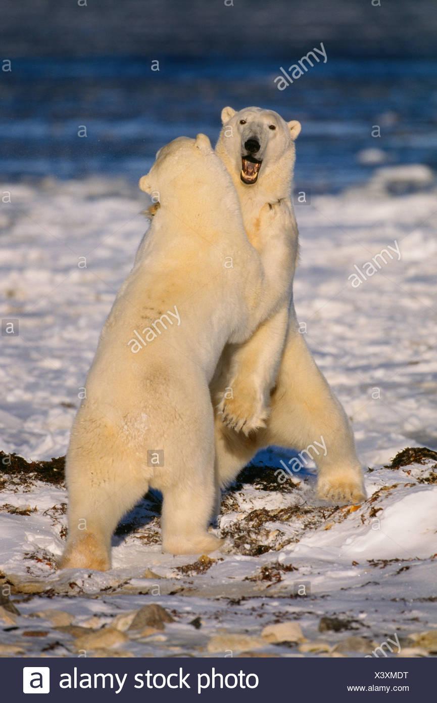 Polar bears - Stock Image