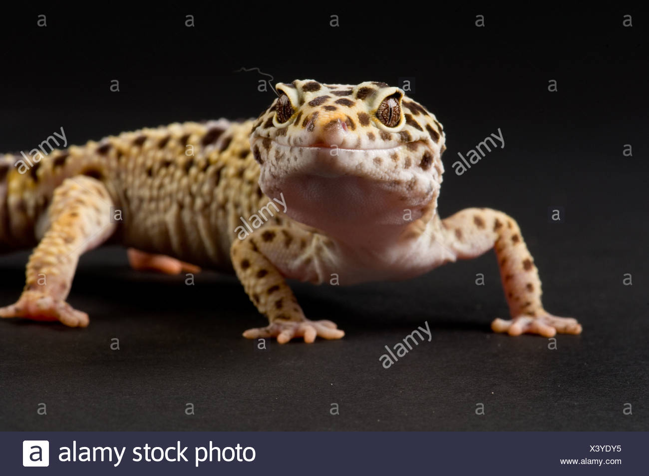 A Leopard Gecko Eublpharis Macularis From The Lincoln Childrens Zoo