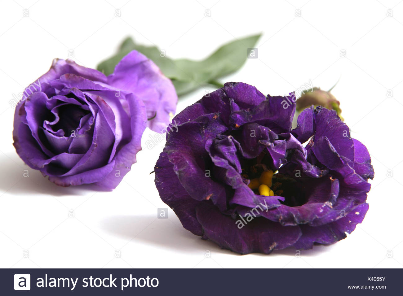 Cutout of a Purple rose on white background - Stock Image