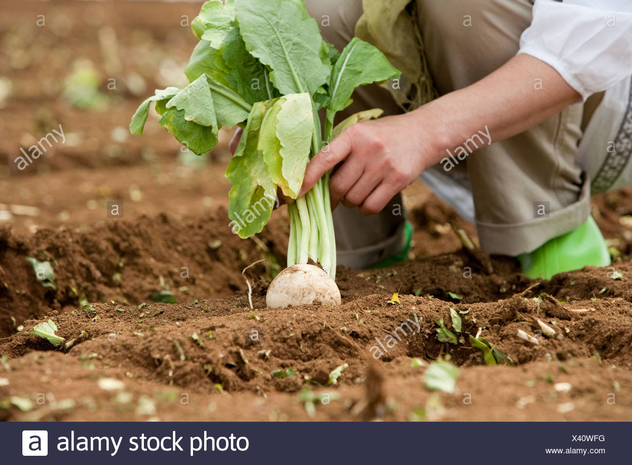 Human hand of mature woman harvesting - Stock Image