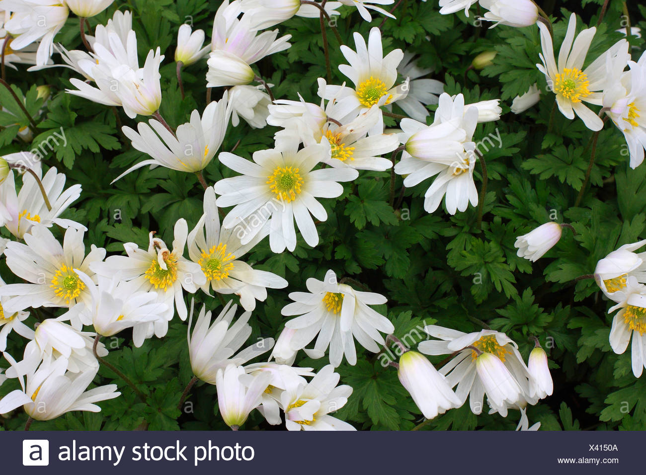 Small white flowers growing on a small shrub stock photo 277850394 small white flowers growing on a small shrub mightylinksfo