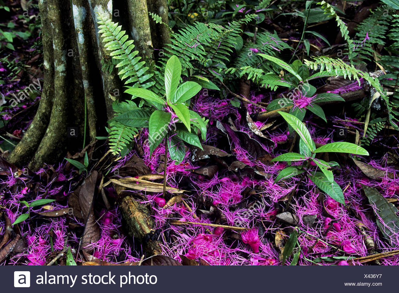 flowers on rainforest floor, tropical rainforest, Indonesia, Western New Guinea, Irian Jaya - Stock Image