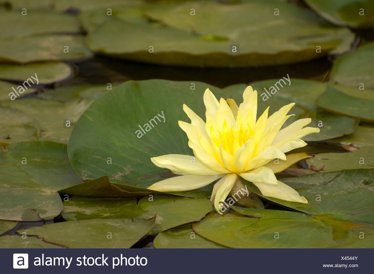 Lotus Flower Framingham The Most Beautiful Flower 2017