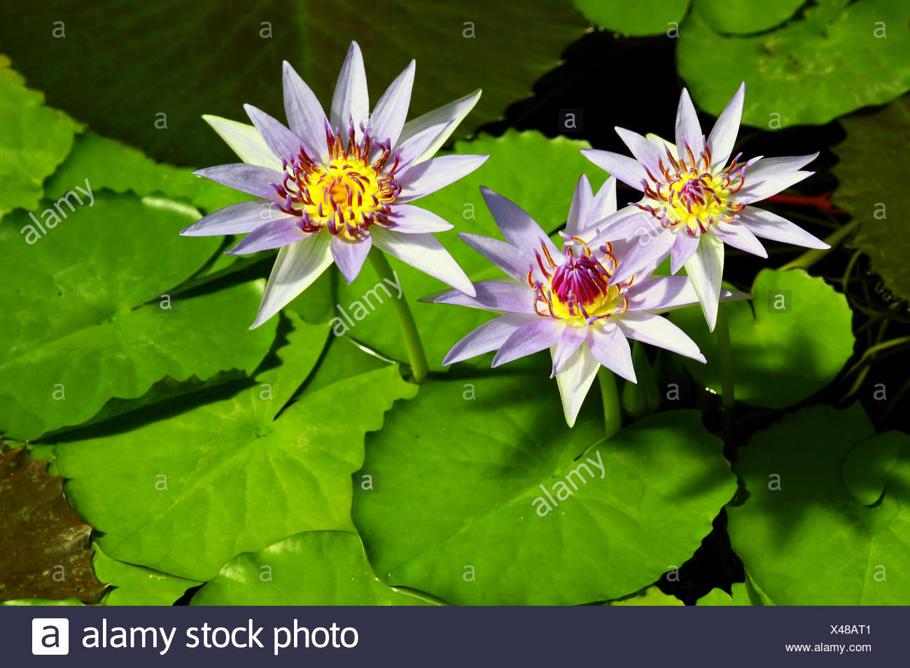 Three Water Lily Flowers Stock Photo 278008641 Alamy