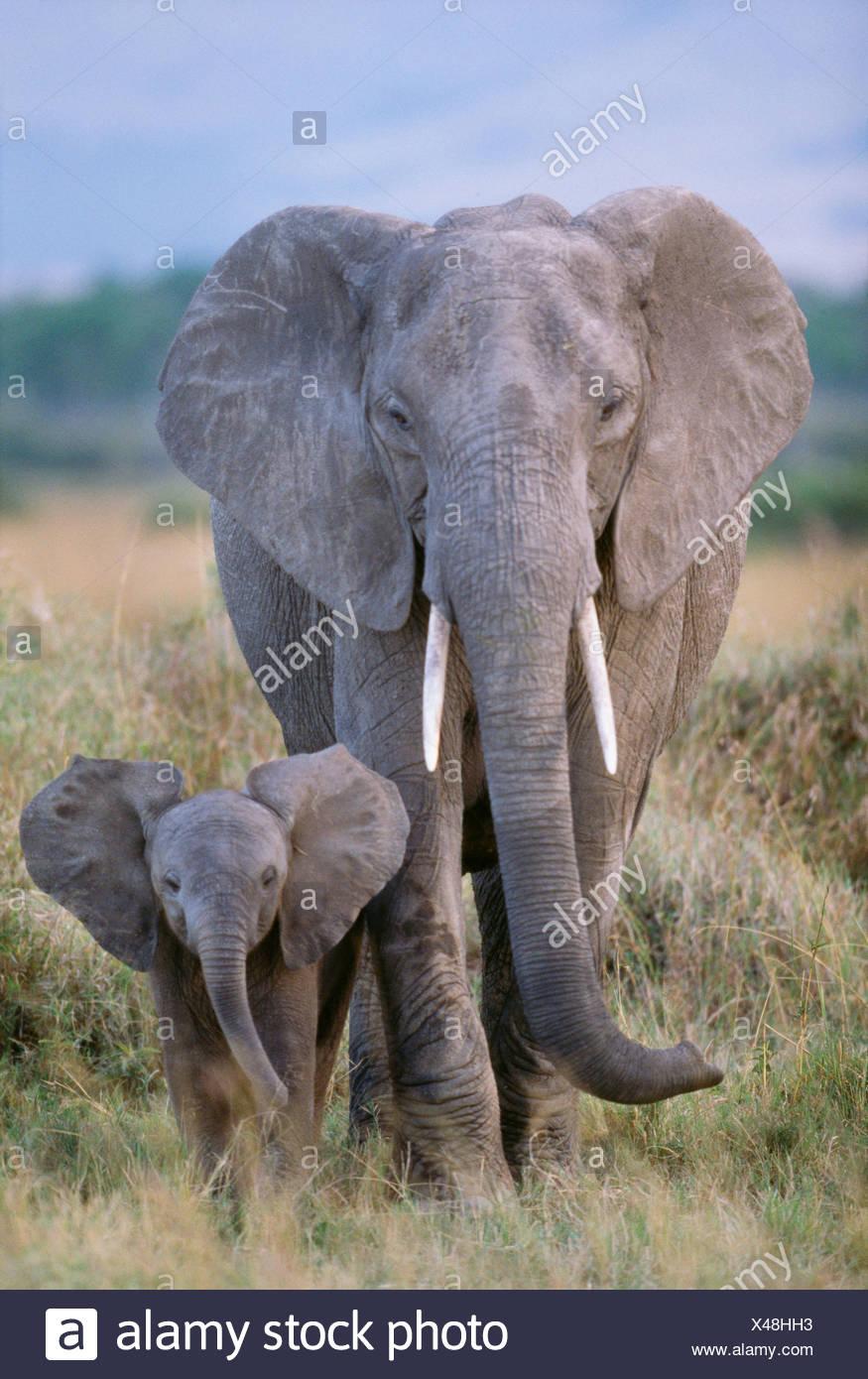 African elephant cow and calf, Amboseli National Park, Kenya - Stock Image
