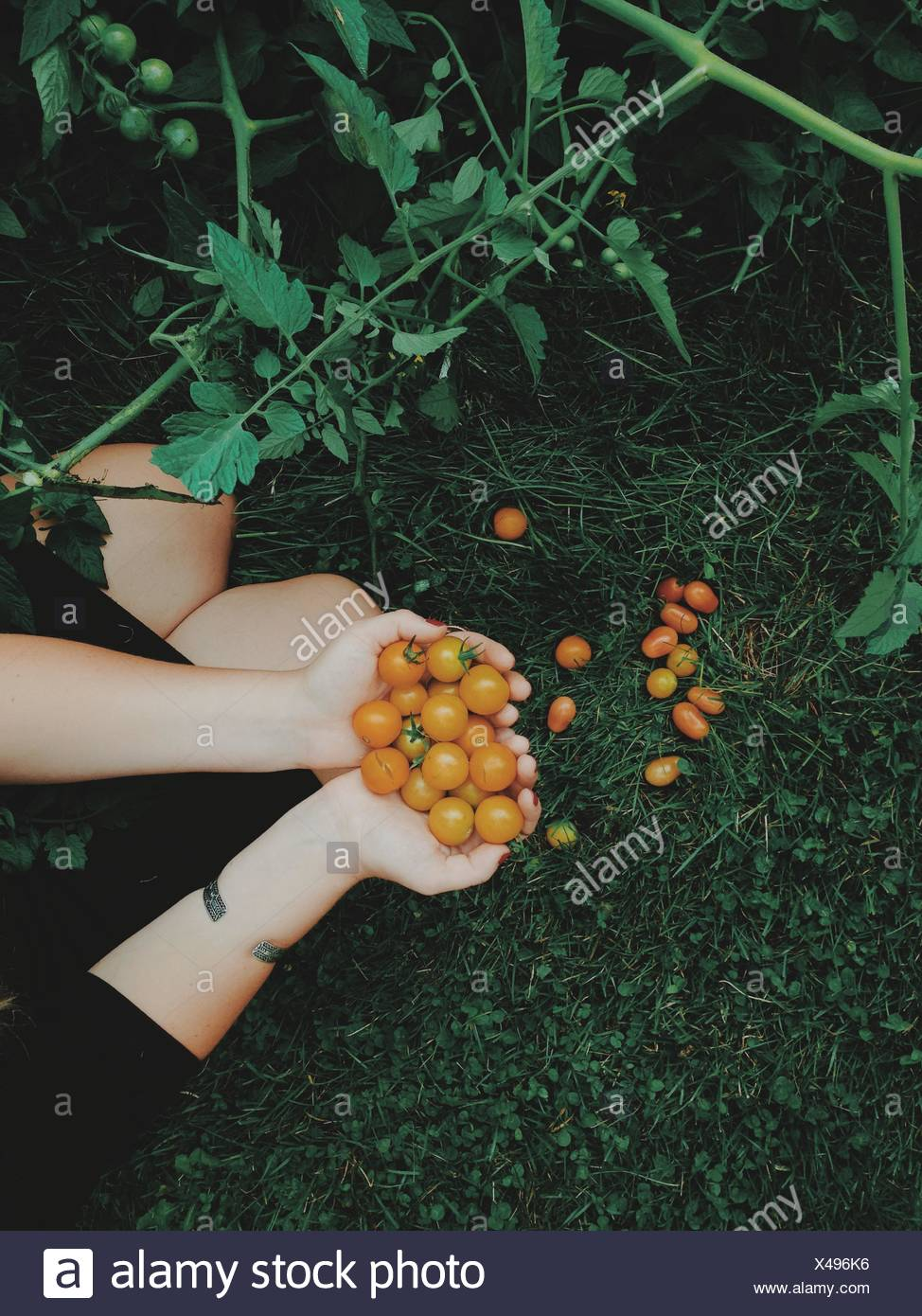 Overhead view of woman holding freshly picked tomatoes - Stock Image