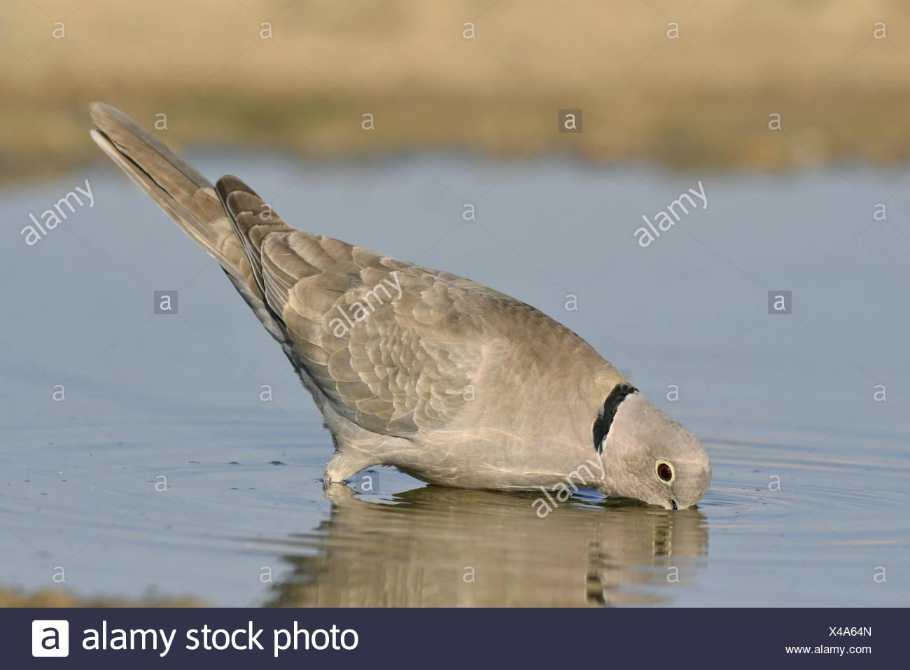 Collared Dove - Streptopelia decaocto - Stock Image