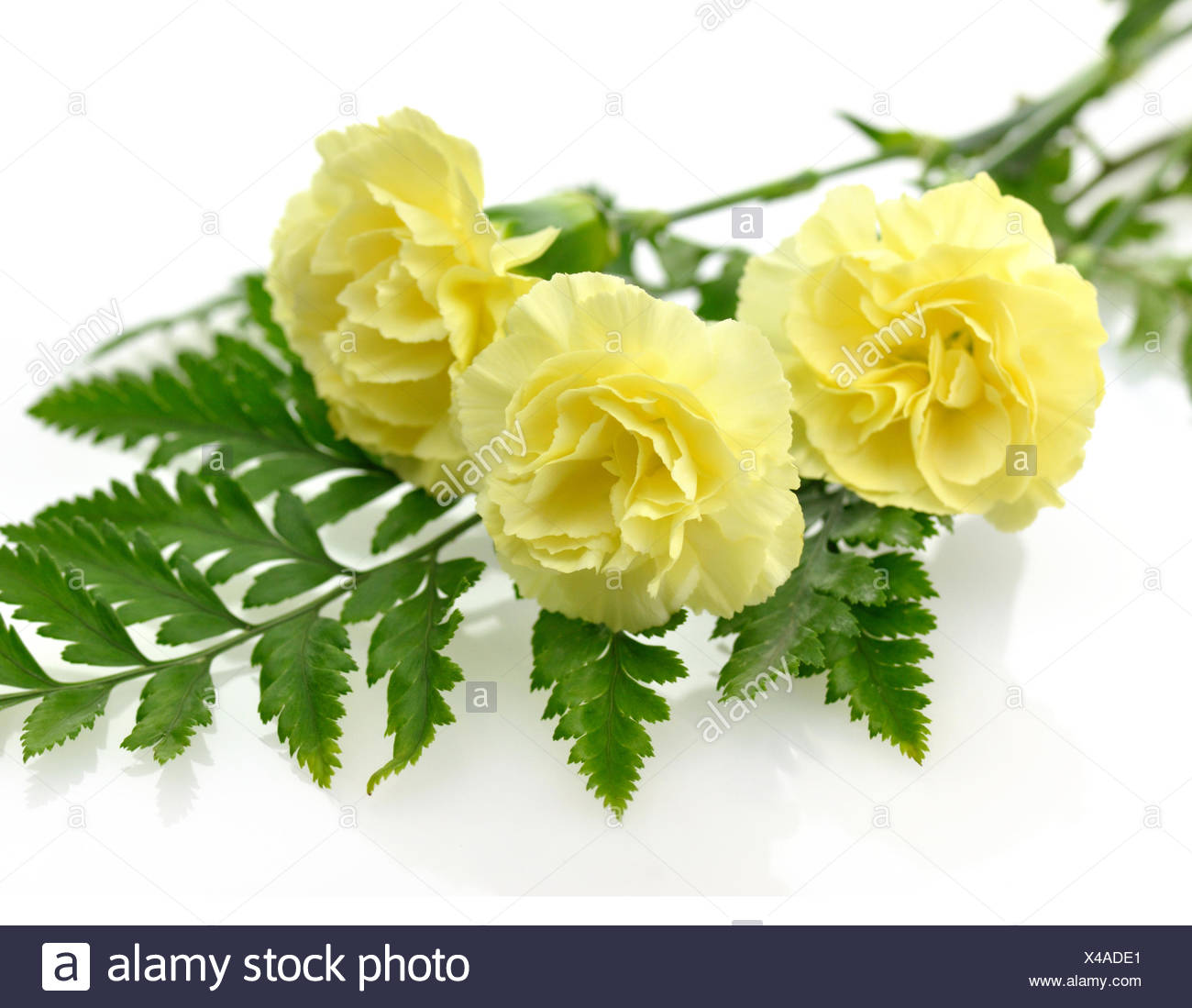 Yellow carnation flowers stock photo 278054617 alamy yellow carnation flowers mightylinksfo