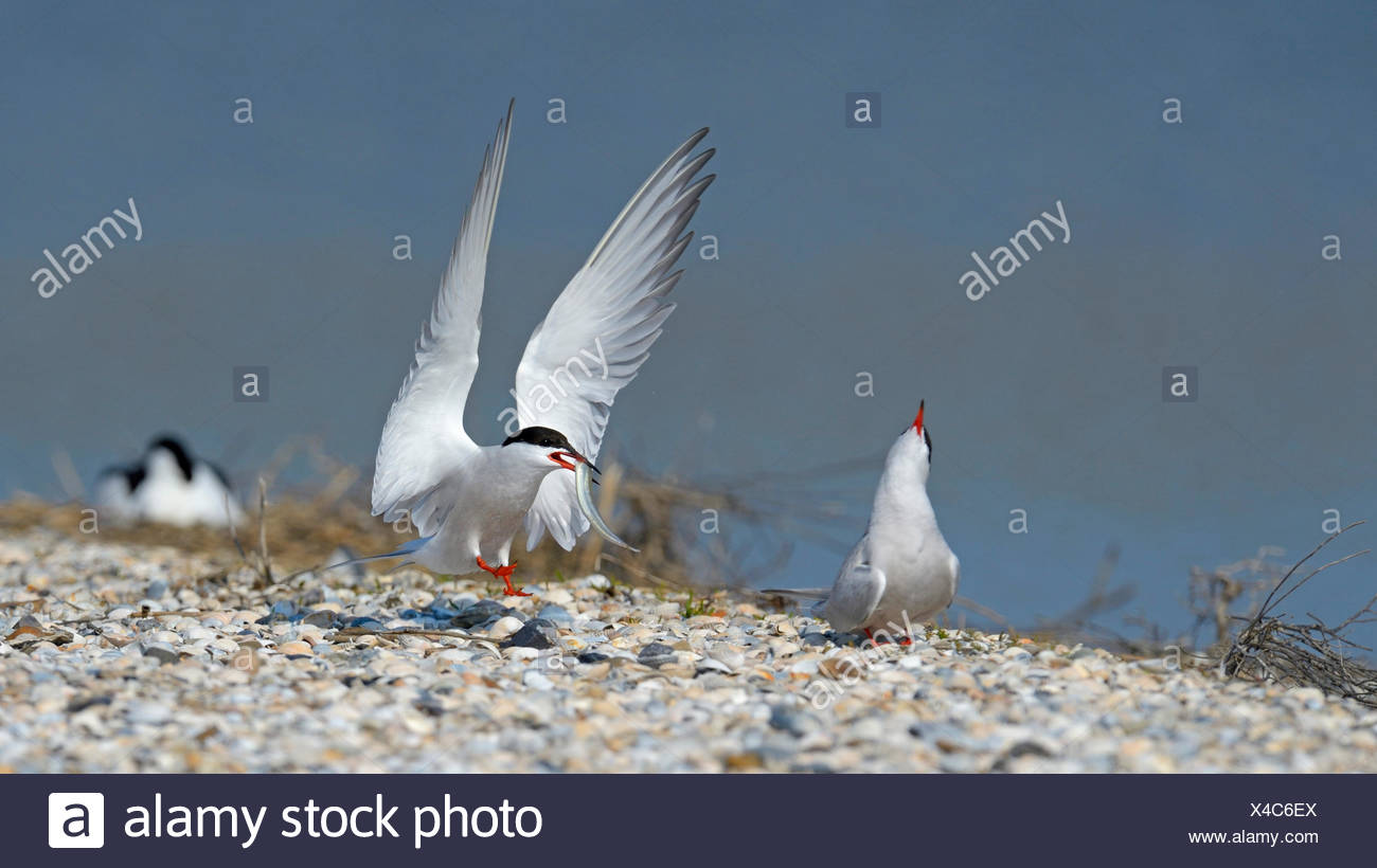 Common tern (Sterna hirundo), terns at delivering of the prey, Netherlands - Stock Image