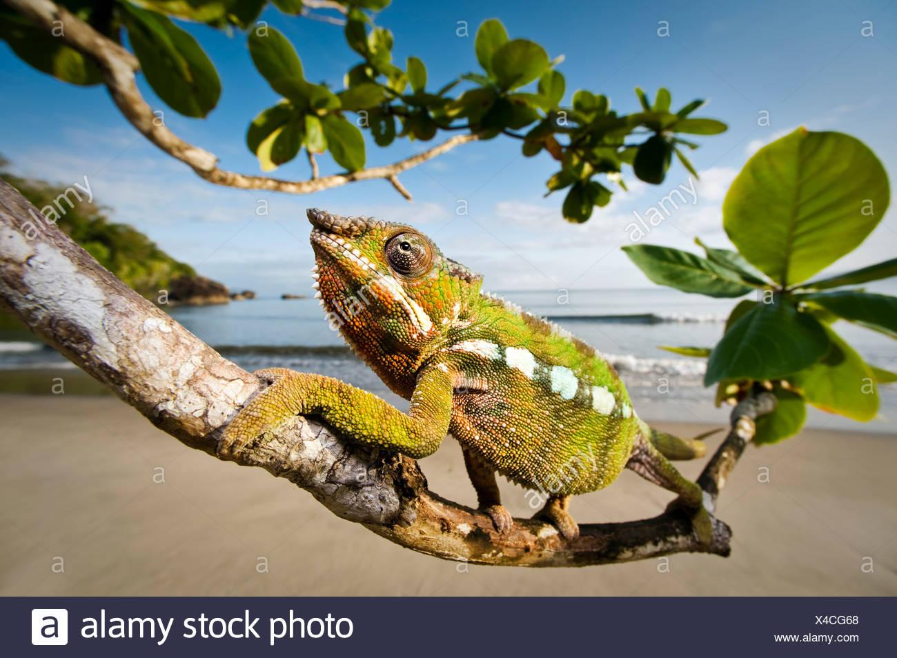 Male Panther Chameleon stalking prey in beach side vegetation, Bay of Antongil, Masoala Peninsula National Park, Madagascar. - Stock Image