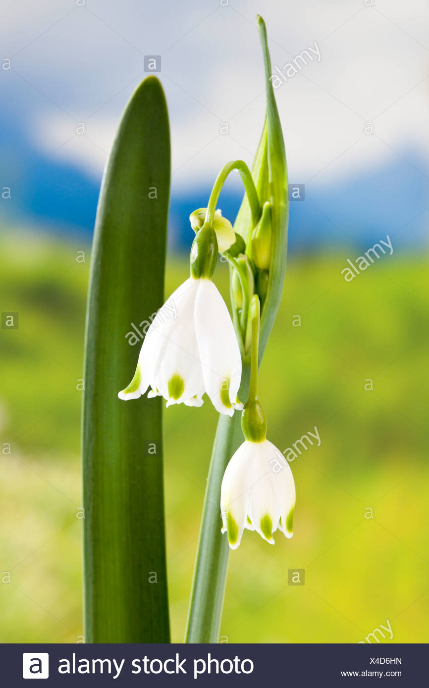 Spring snowflake flowers close up stock photo 278115089 alamy spring snowflake flowers close up mightylinksfo