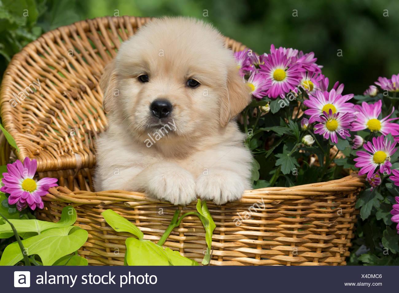 Golden Retriever Puppy In Wooden Basket With Purple Flowers Usa
