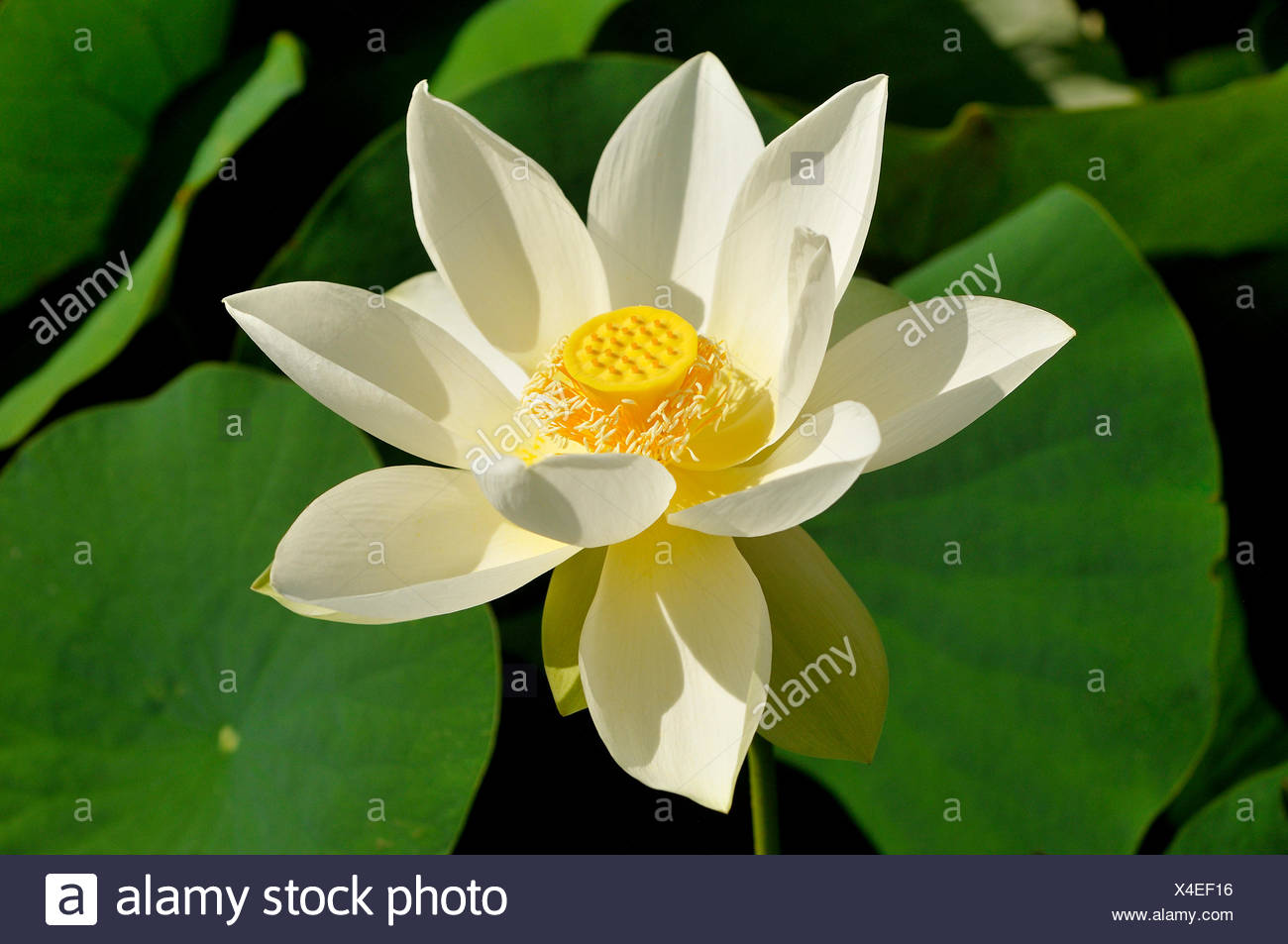 White lotus flower nelumbo sp north rhine westphalia germany white lotus flower nelumbo sp north rhine westphalia germany izmirmasajfo Image collections