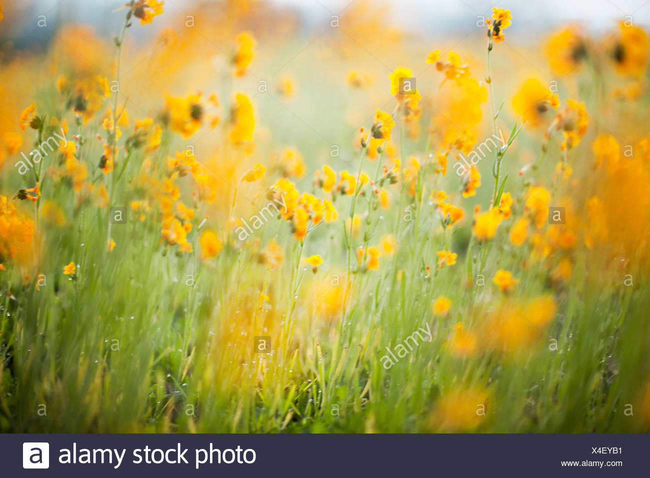 Close up yellow flowers - Stock Image