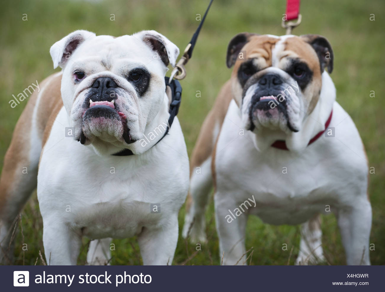 Two white and fawn English Bulldogs on leads looking upwards England - Stock Image