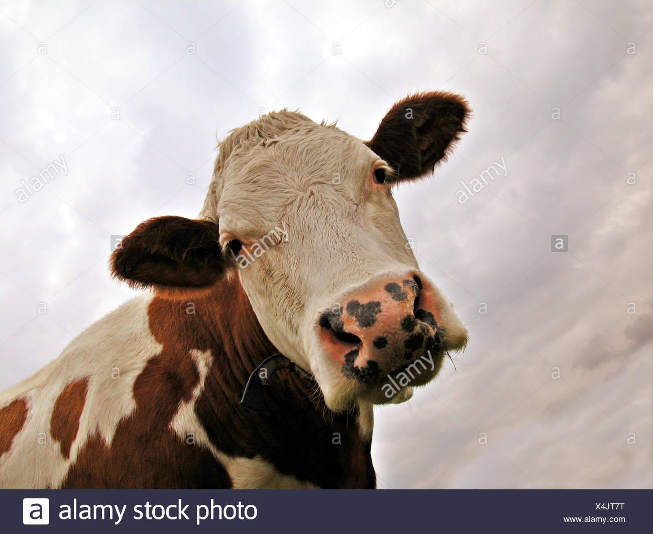 cow - portrait - Stock Image