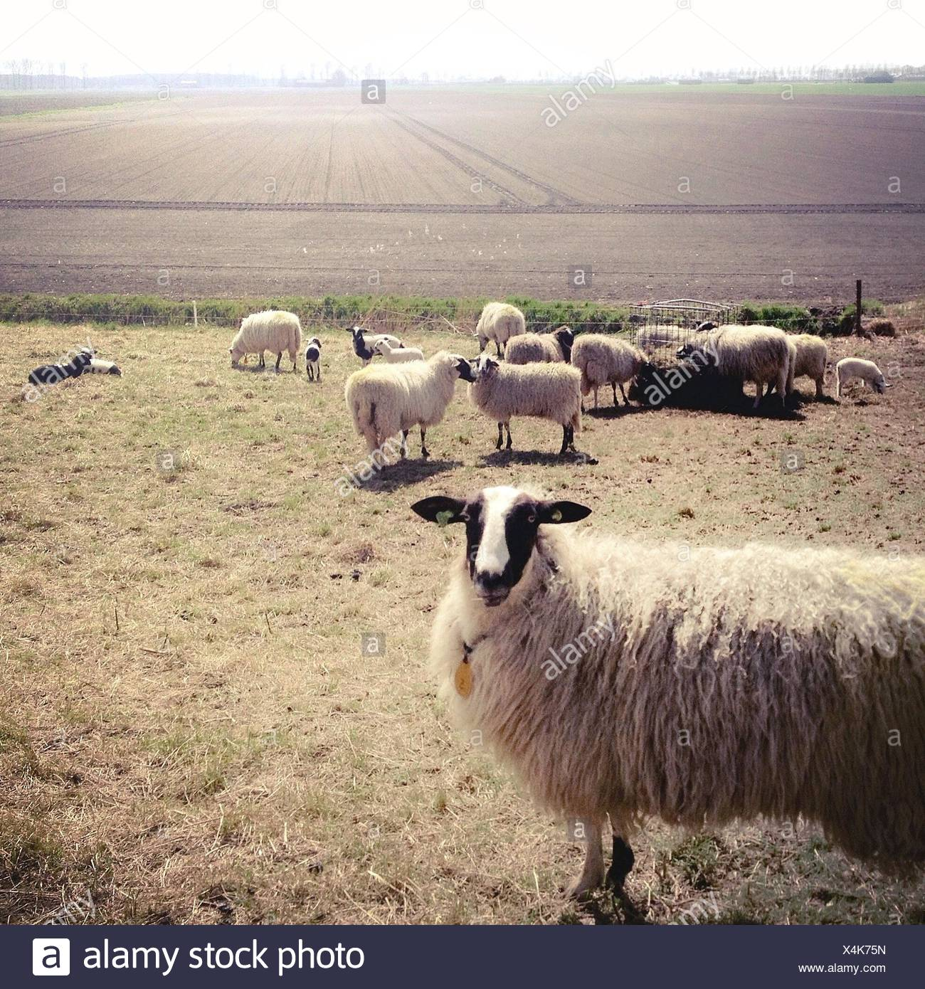 Flock of sheep on pasture - Stock Image