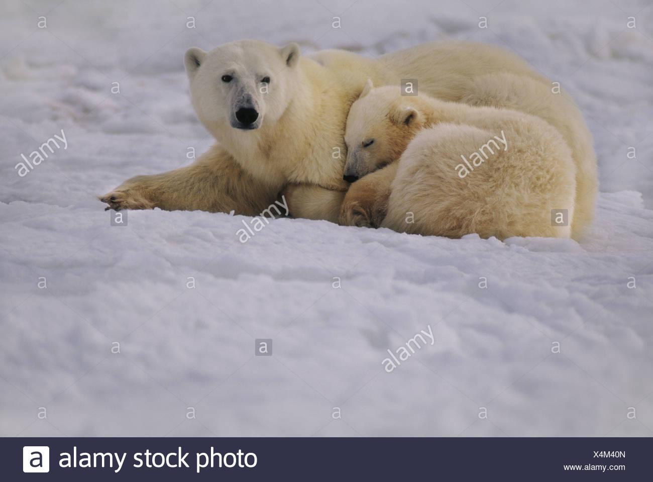 Hudson Bay Canada Polar bear mother and cub resting Ursus maritimus - Stock Image
