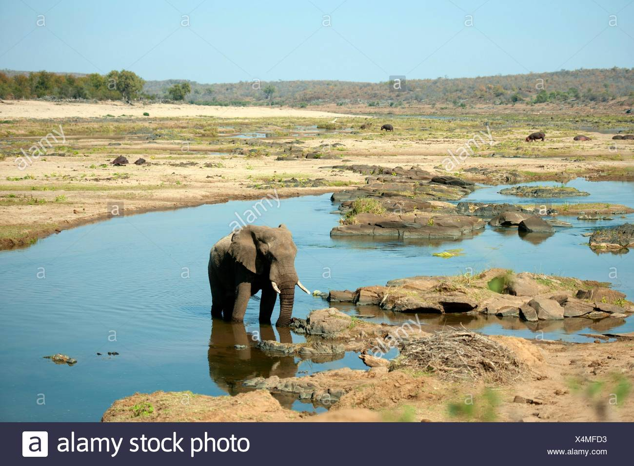 Elephant (Loxodonta africana) in river with Hippopotami (Hippopotamus amphibius) in background, Kruger National Park, Transvaal, South Africa. - Stock Image