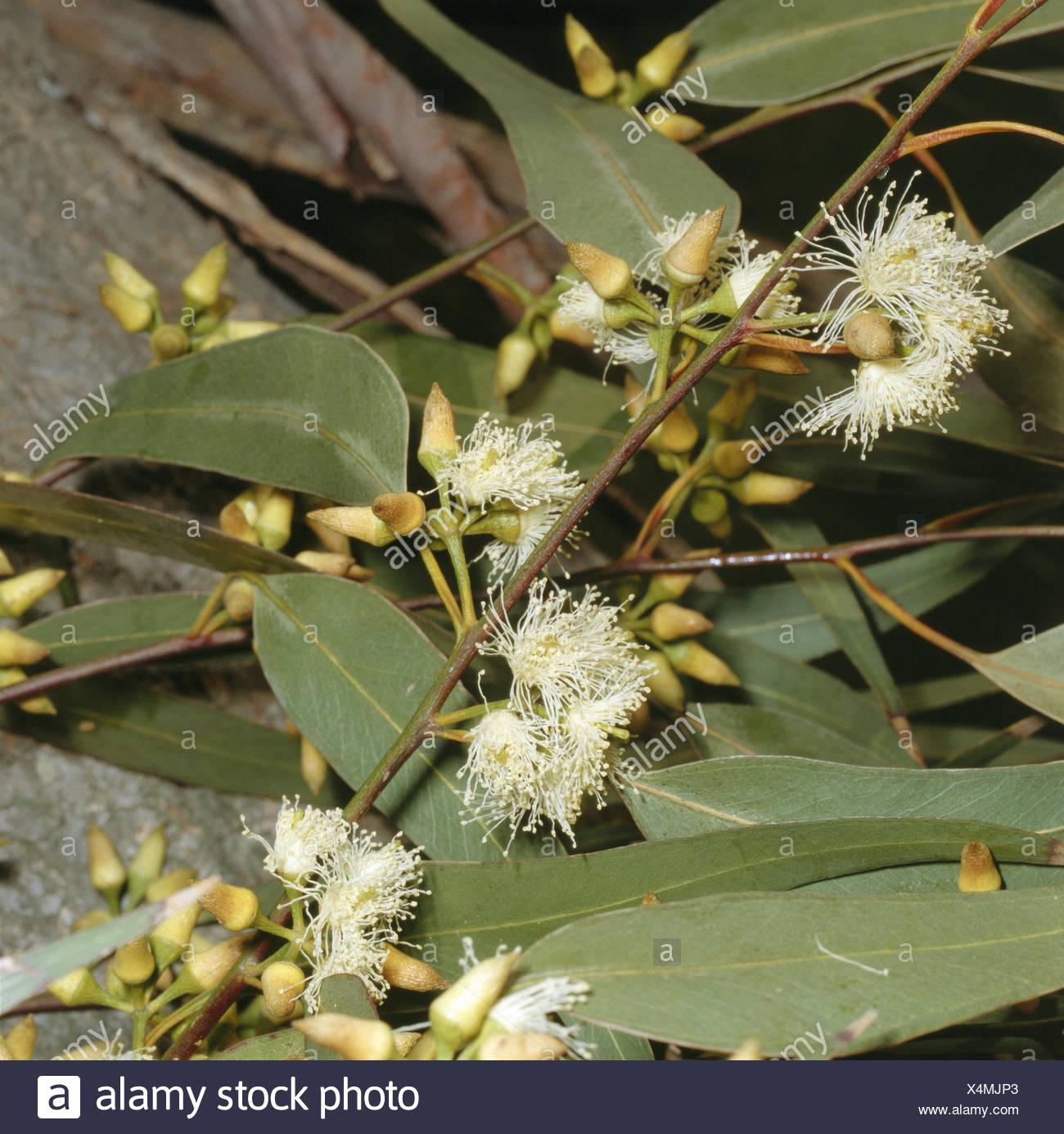 Eucalyptus eucalyptus globulus labill leaves blossoms close up nature botany flora fever gum tree eucalyptus globulus plant blossom leaves fig kind shrub blossom white blossoming flower flowers leaves mightylinksfo