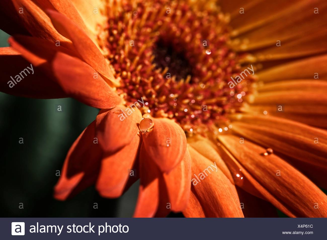 Orange Flower With Water Drops - Stock Image
