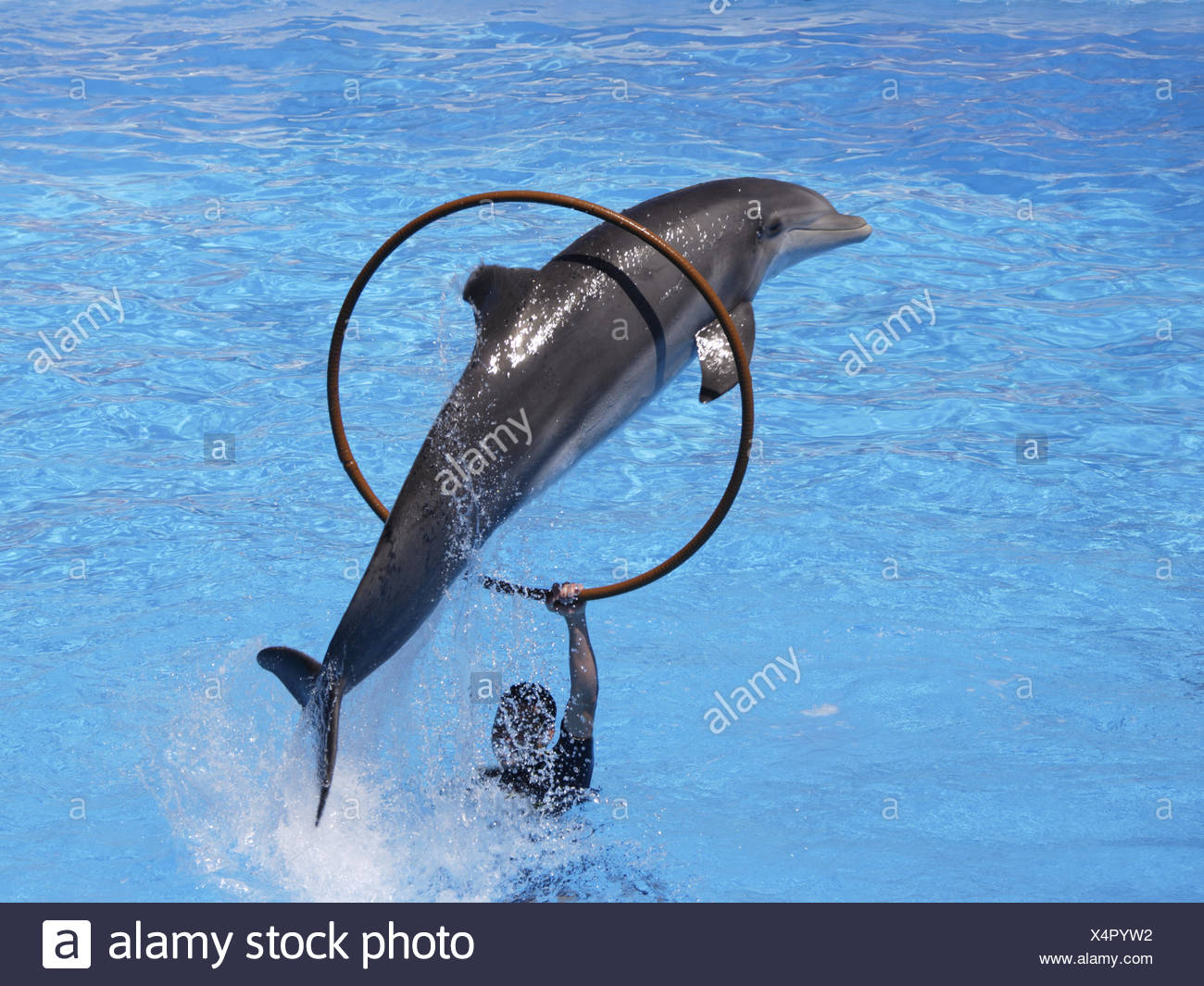 Bottlenose dolphin jumping through hoop, Loro Parque, Tenerife, Canary Islands, Spain - Stock Image