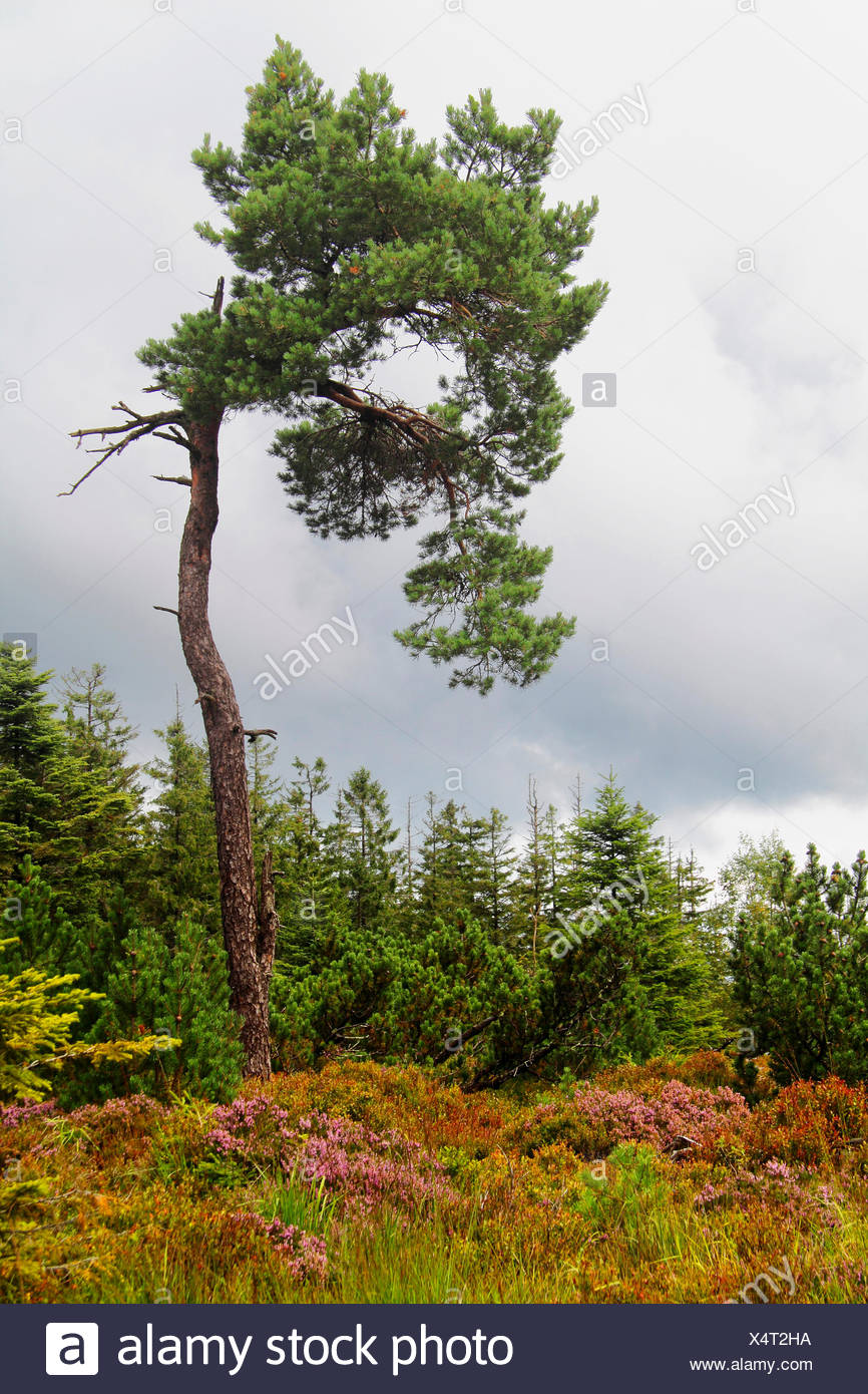 conifer forest and heather in 1000 m height, Germany, Baden-Wuerttemberg, Black Forest National Park - Stock Image