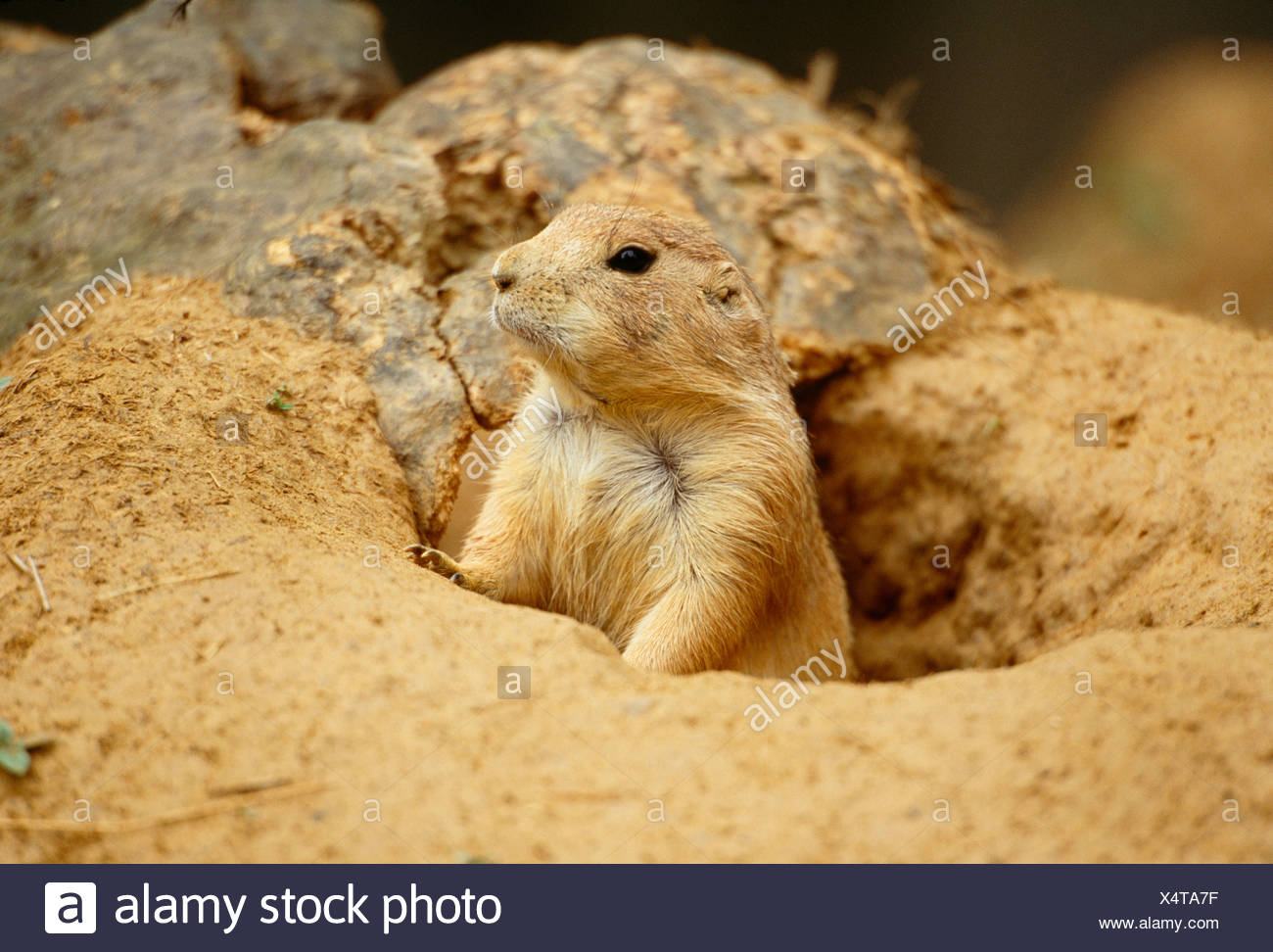 Utah Prairie Dog - Stock Image