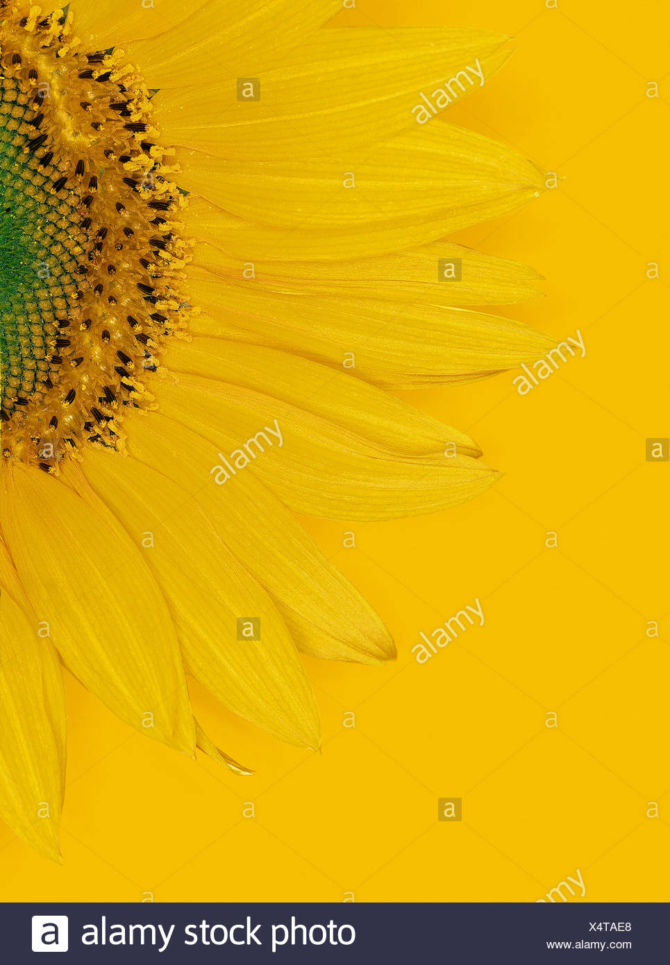 A sunflower against a yellow background - Stock Image