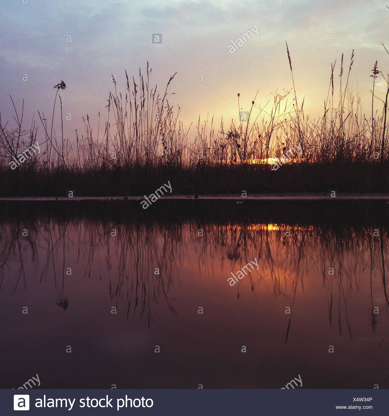 Reeds and feather grass at sunset - Stock Image
