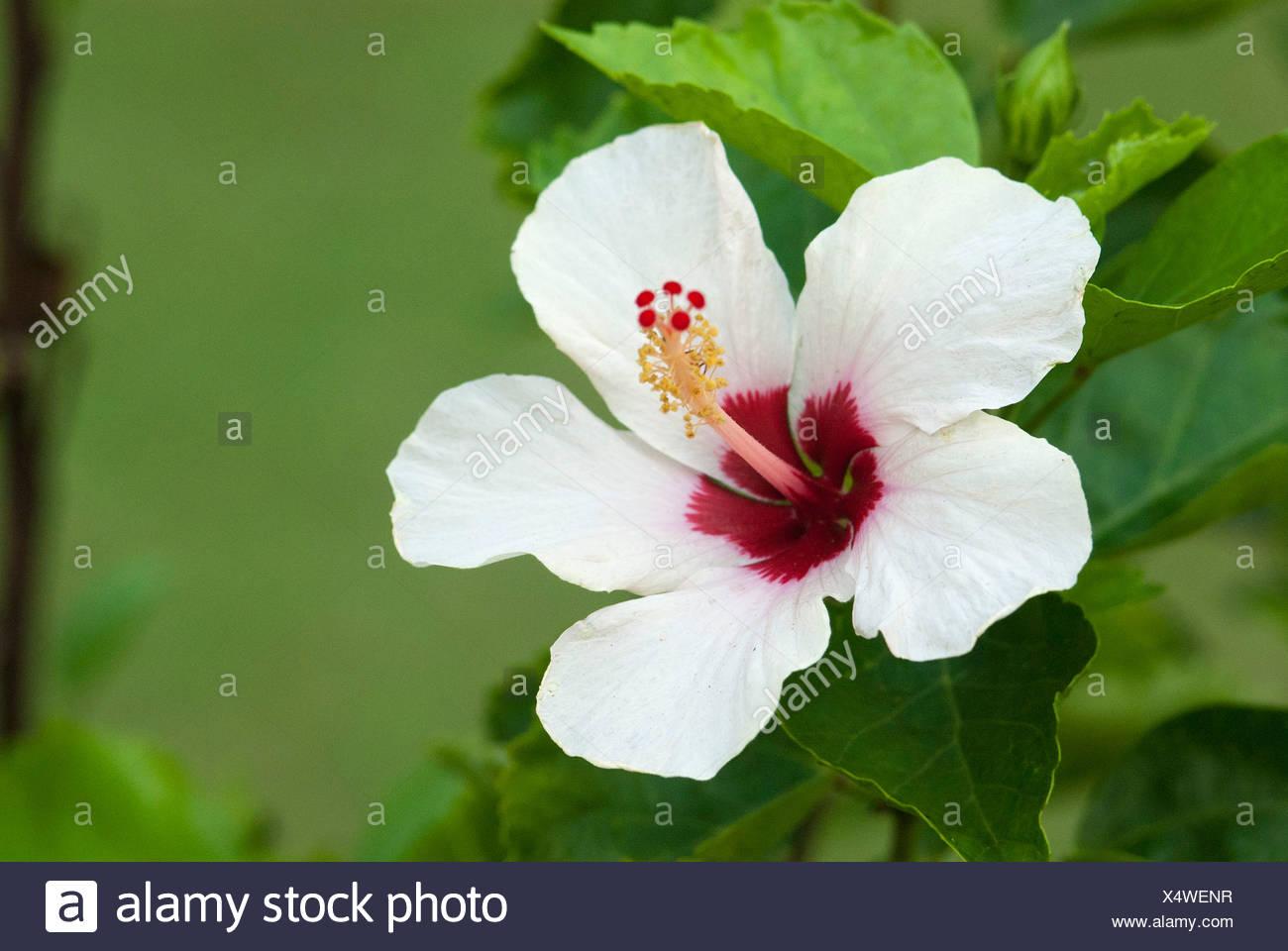 White Hibiscus Flower Hibiscus Somatheeram Ayurvedic Health