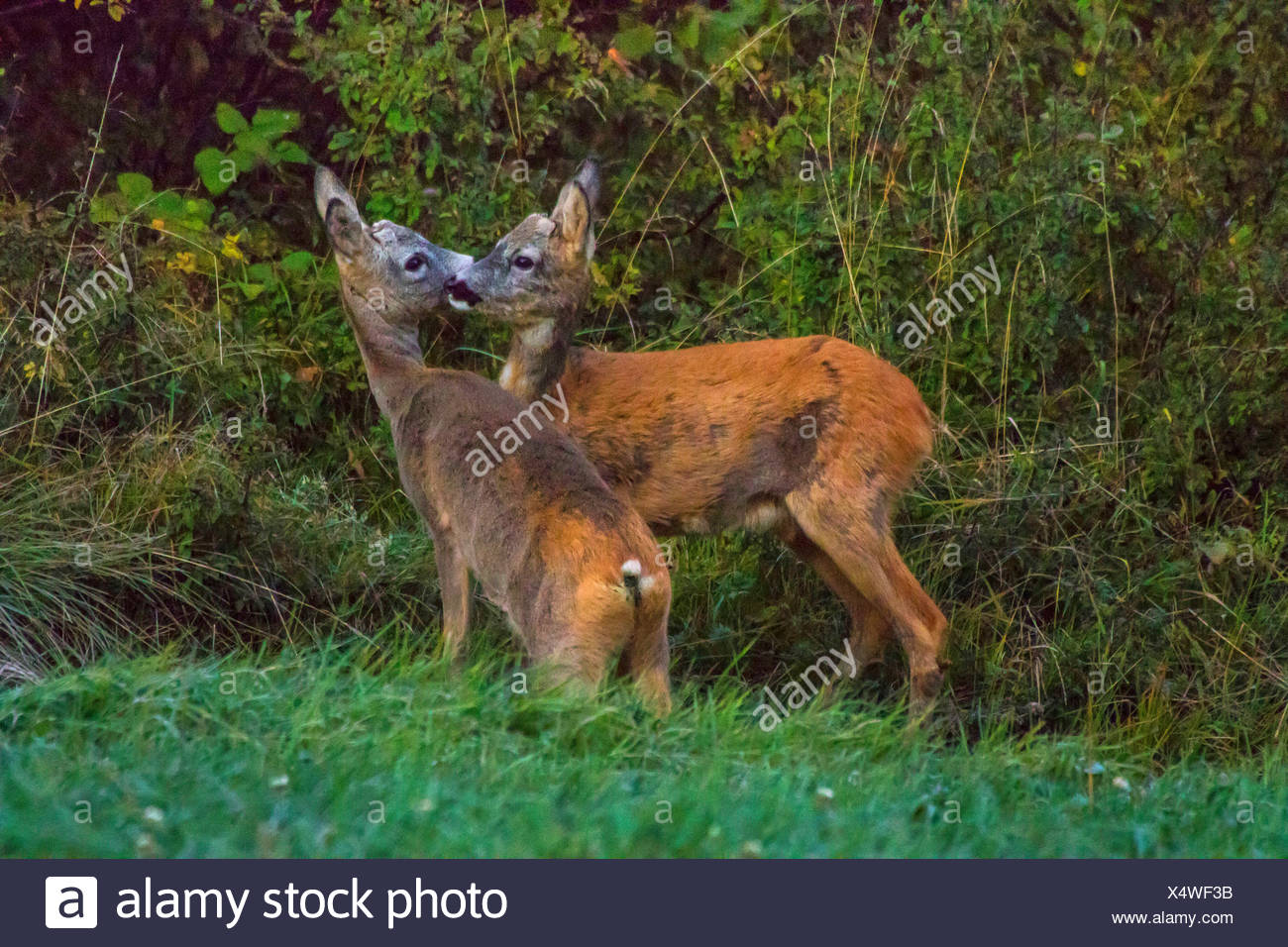 roe deer (Capreolus capreolus), two juvenile roe deers stand in a meadow at forest edge sniffing, Switzerland, Sankt Gallen - Stock Image