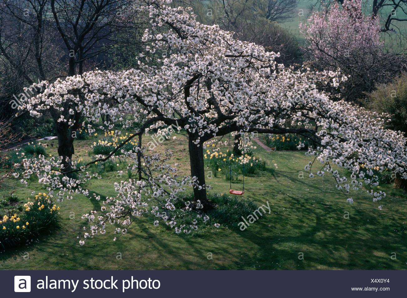 Prunus Hokusai' growing on grass in natural Spring garden - Stock Image