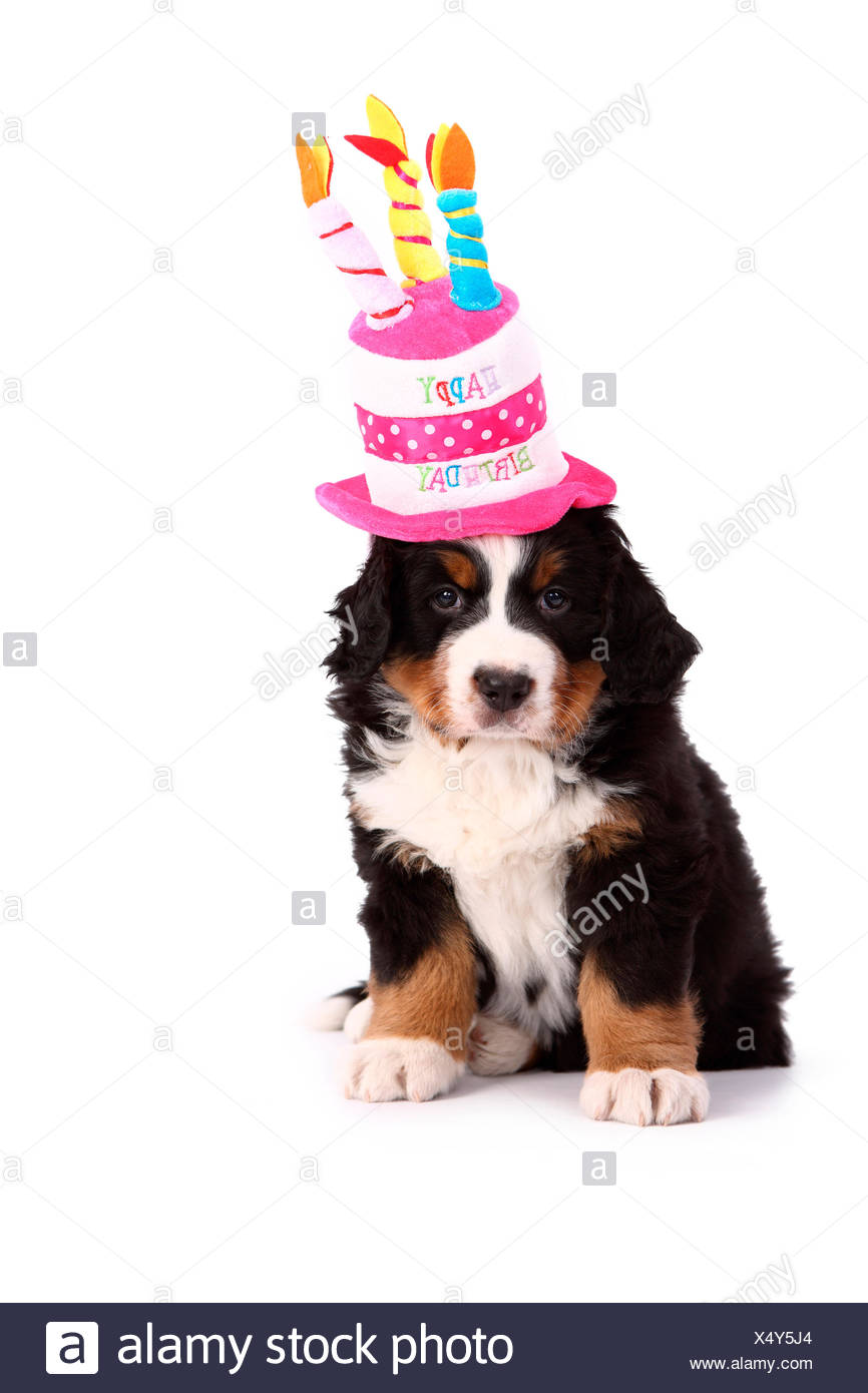 Bernese Mountain Dog Puppy 6 Weeks Old Sitting While Wearing A Hat Shaped As Birthday Cake Studio Picture Against White Background Germany