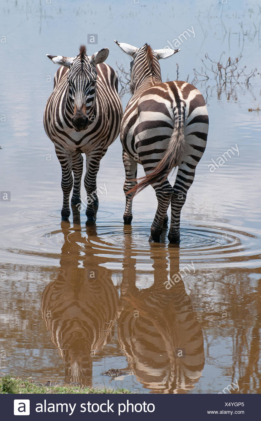 Two Common Zebra stand side by side in shallow flood water at lake edge in Lake Nakuru National Park Kenya East Africa  COMMON Z - Stock Image