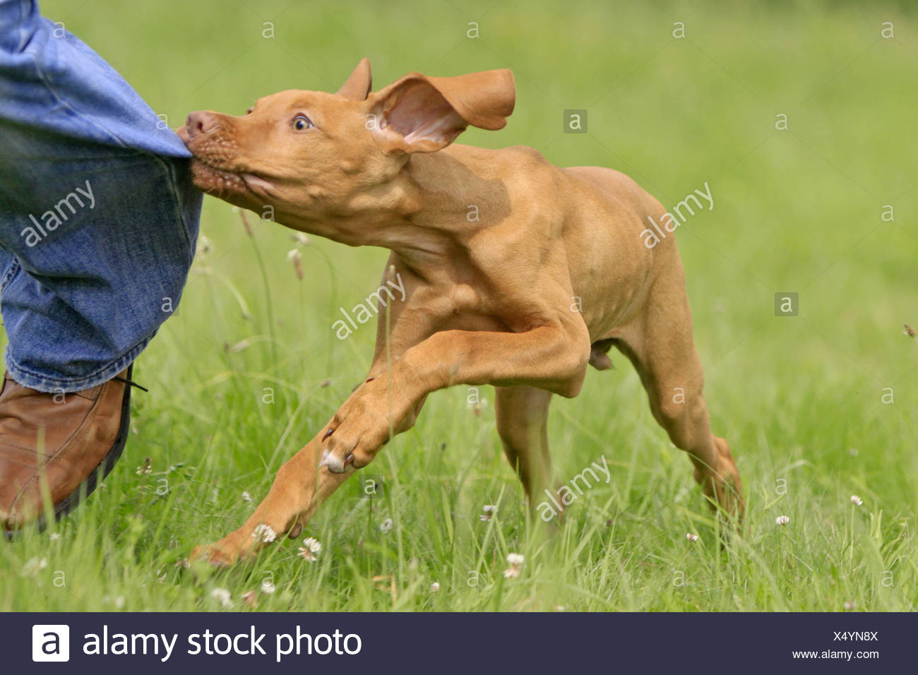 Magyar Vizsla - puppy biting in trousers - Stock Image