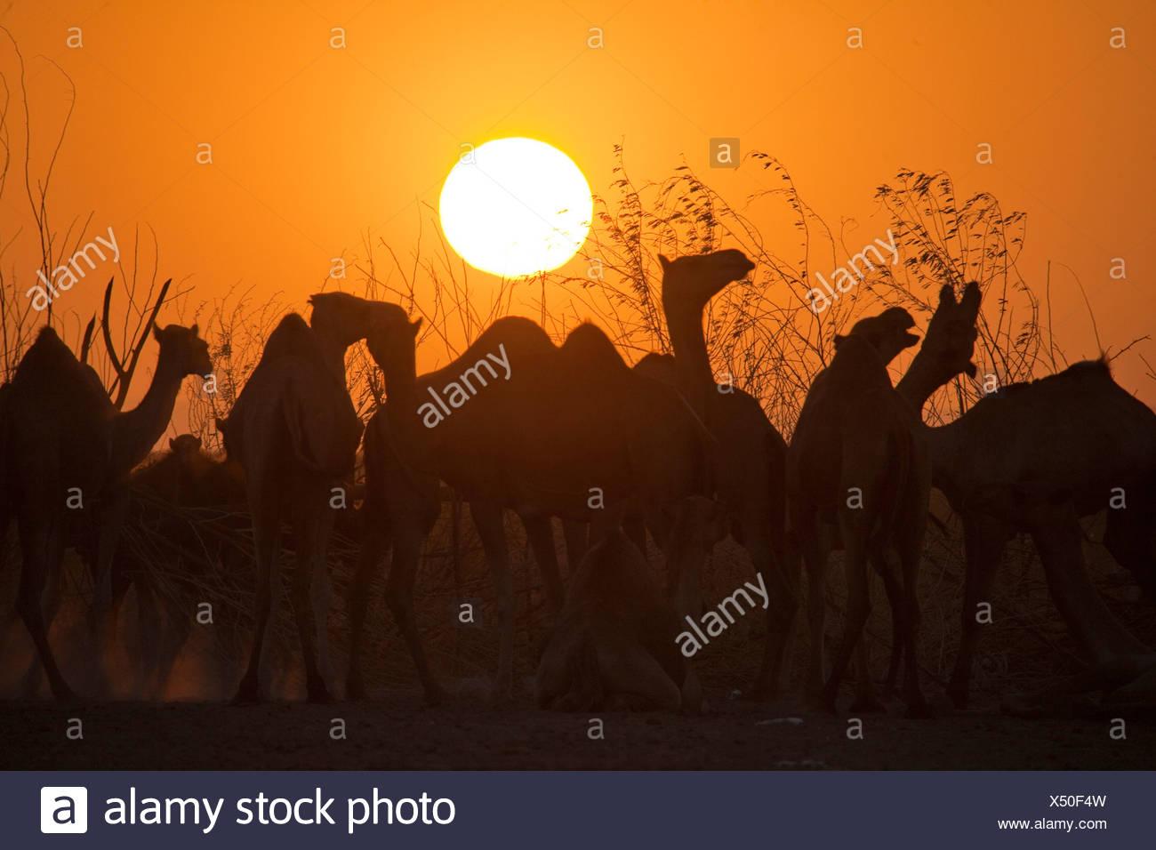 Camels, evening light, Africa, animals, animal, Ethiopia, sundown, sunset, - Stock Image