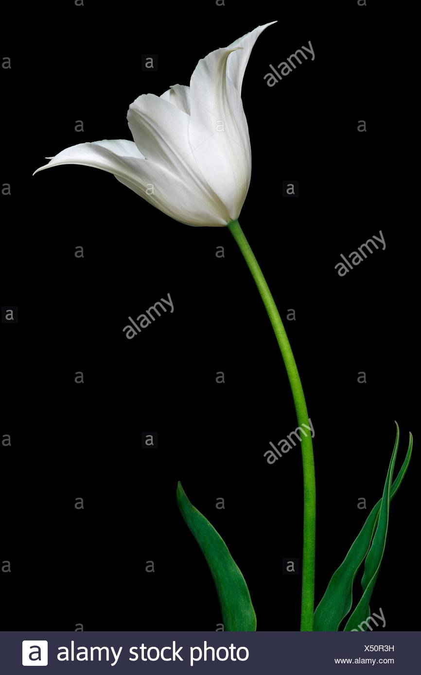 Tulip tulipa x gesneriana called didiers tulip and garden tulip called didiers tulip and garden tulip also image of white flower isolated on black background mightylinksfo