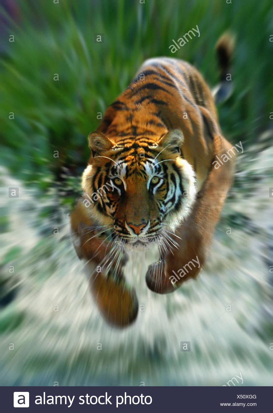 Bengal tiger (Panthera tigris tigris), running through water - Stock Image