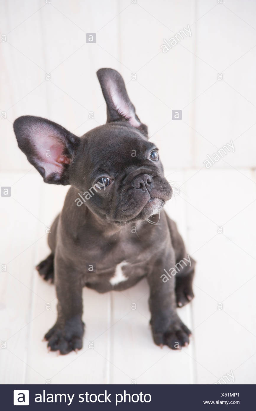 French bulldog looking up - Stock Image