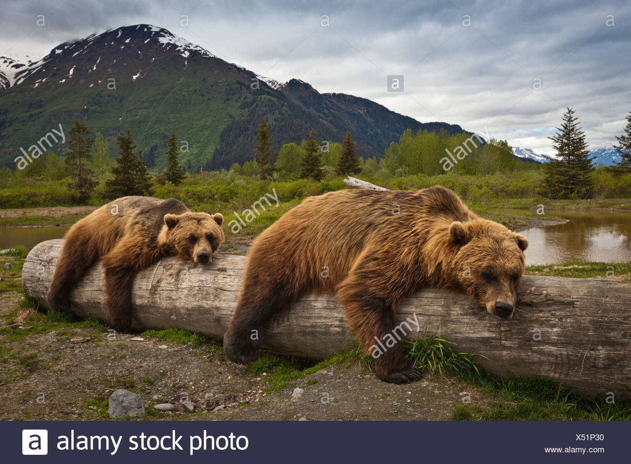 CAPTIVE: Two mature Brown bears lay stretched out on a log at Alaska Wildlife Conservation Center, Southcentral Alaska, Summer - Stock Image