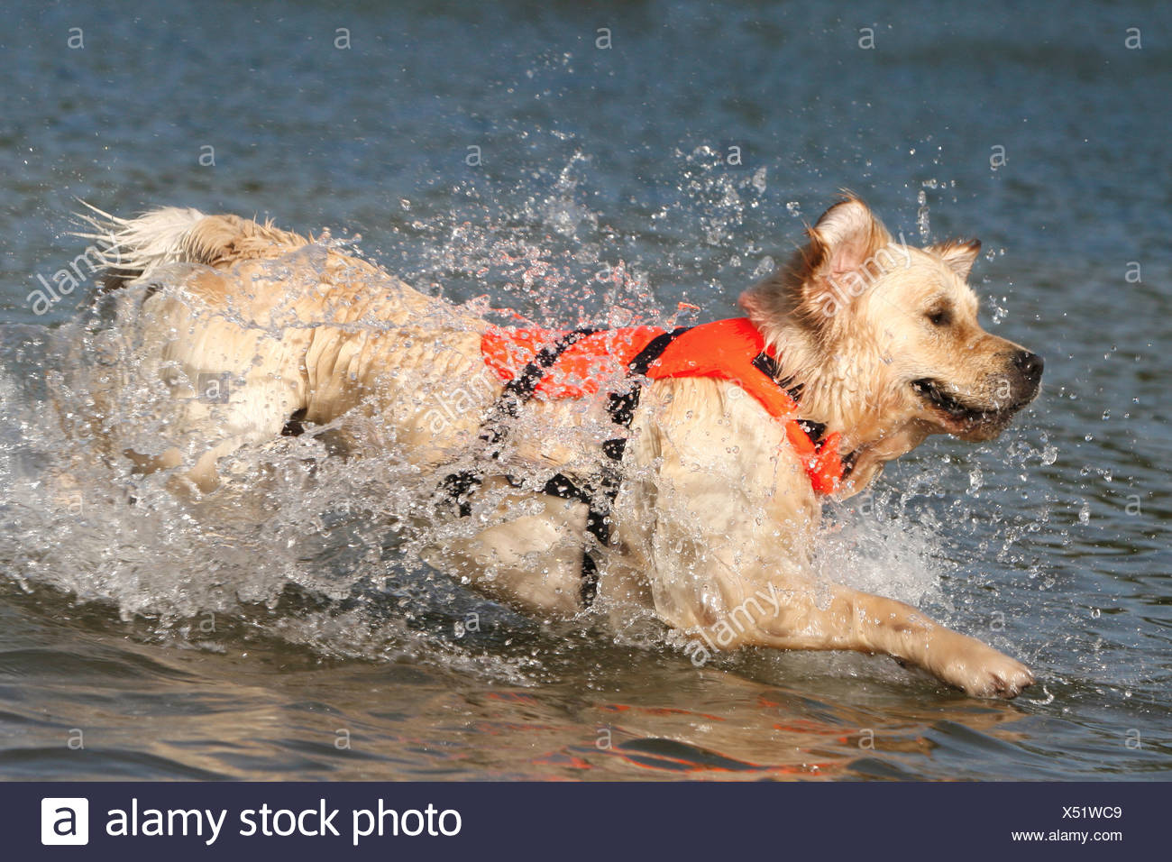 Golden Retriever With Life Jacket Running In Water Stock Photo