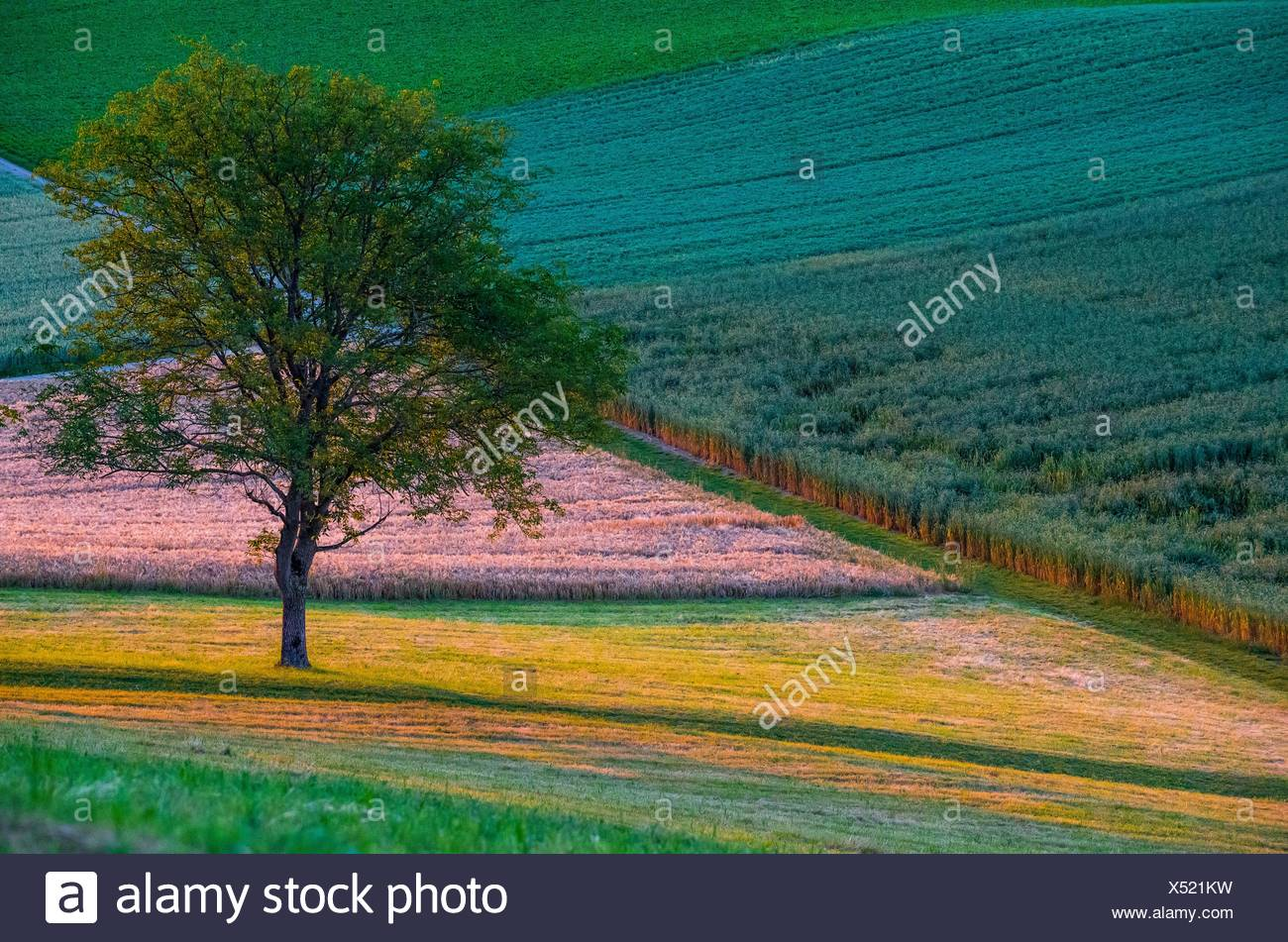 Fields in contrasting colours with a tree, Canton of Aargau, Switzerland - Stock Image