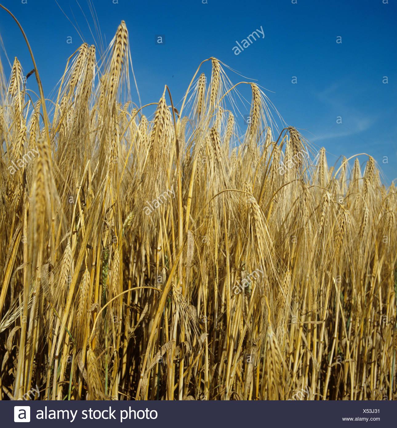 Ripe six row barley against an intense blue summer sky - Stock Image