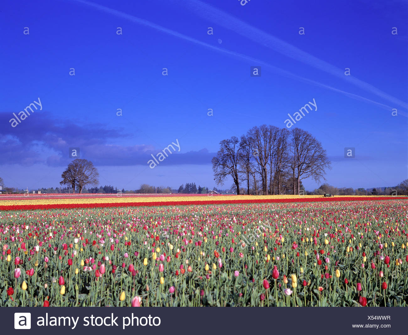 Moon and Vapor Trails Over Tulip Fields - Stock Image