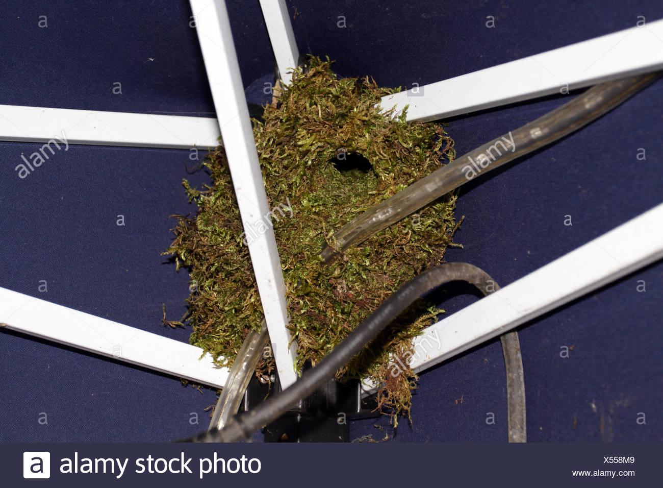 Zaunkoenig Troglodytes Troglodytes Nest Eines Zaunkoenigs Unter