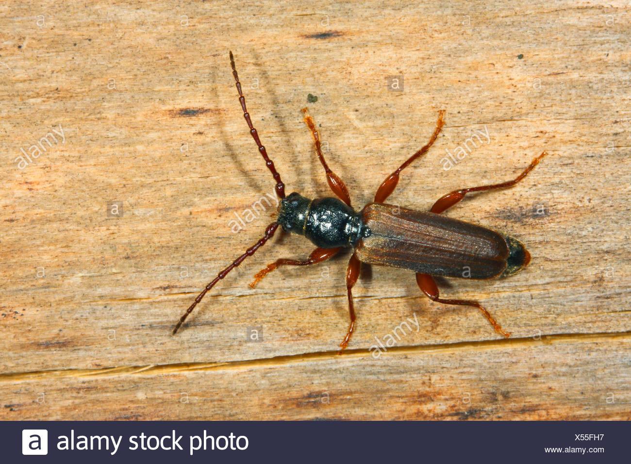 Black spruce beetle, Black spruce long-horn beetle, European spruce longhorn beetle (Tetropium castaneum, Tetropium luridum), on deadwood, Germany - Stock Image