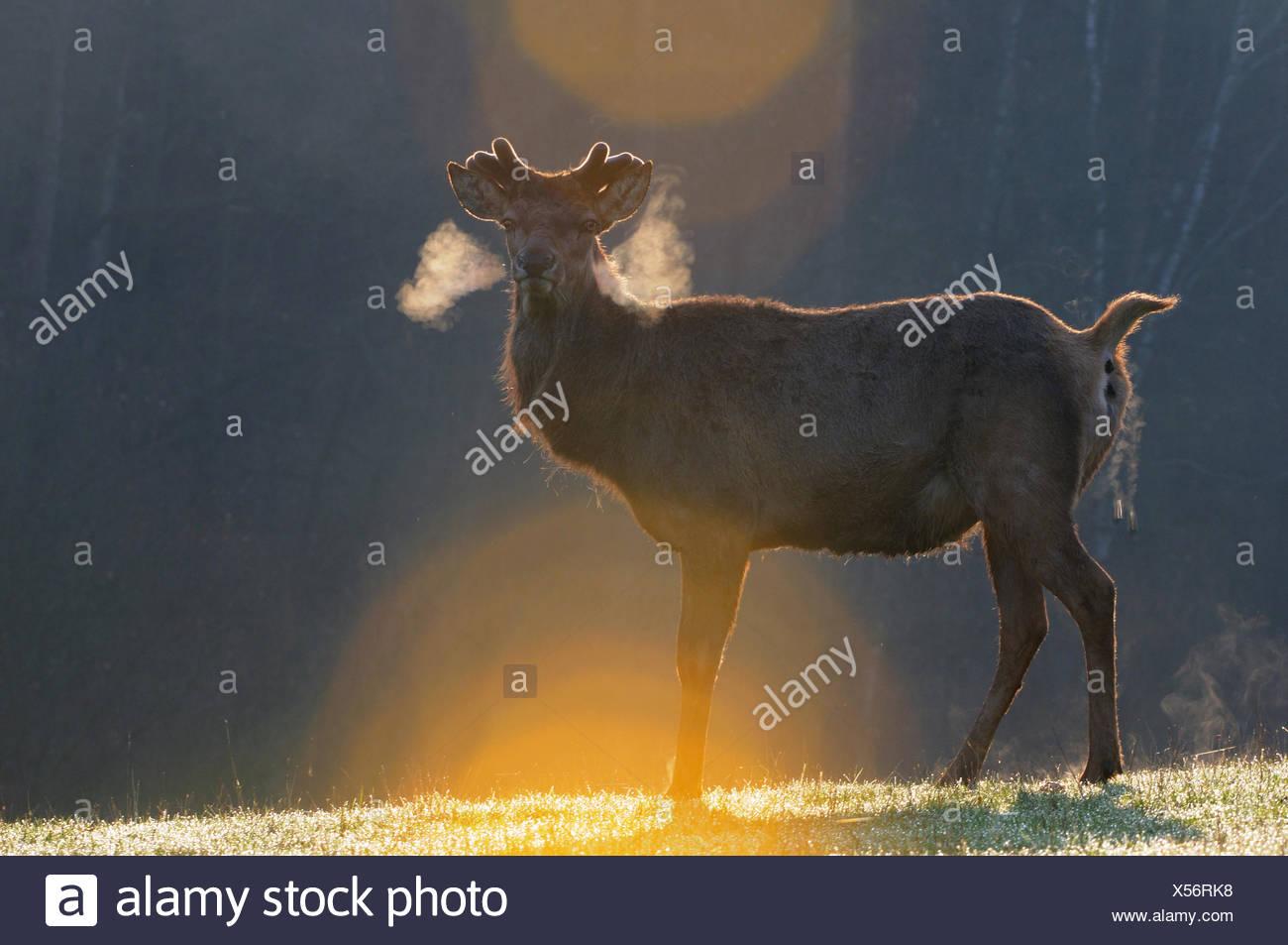 Red deer antlers antler Cervid Cervus elaphus deer stag stags hoofed animals European deer spring velvet animal animals Germ - Stock Image