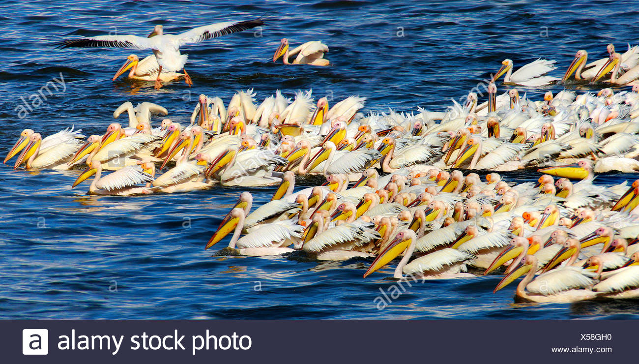 eastern white pelican (Pelecanus onocrotalus), troop fishing, group hunting at the Lake Nakuru, Kenya - Stock Image