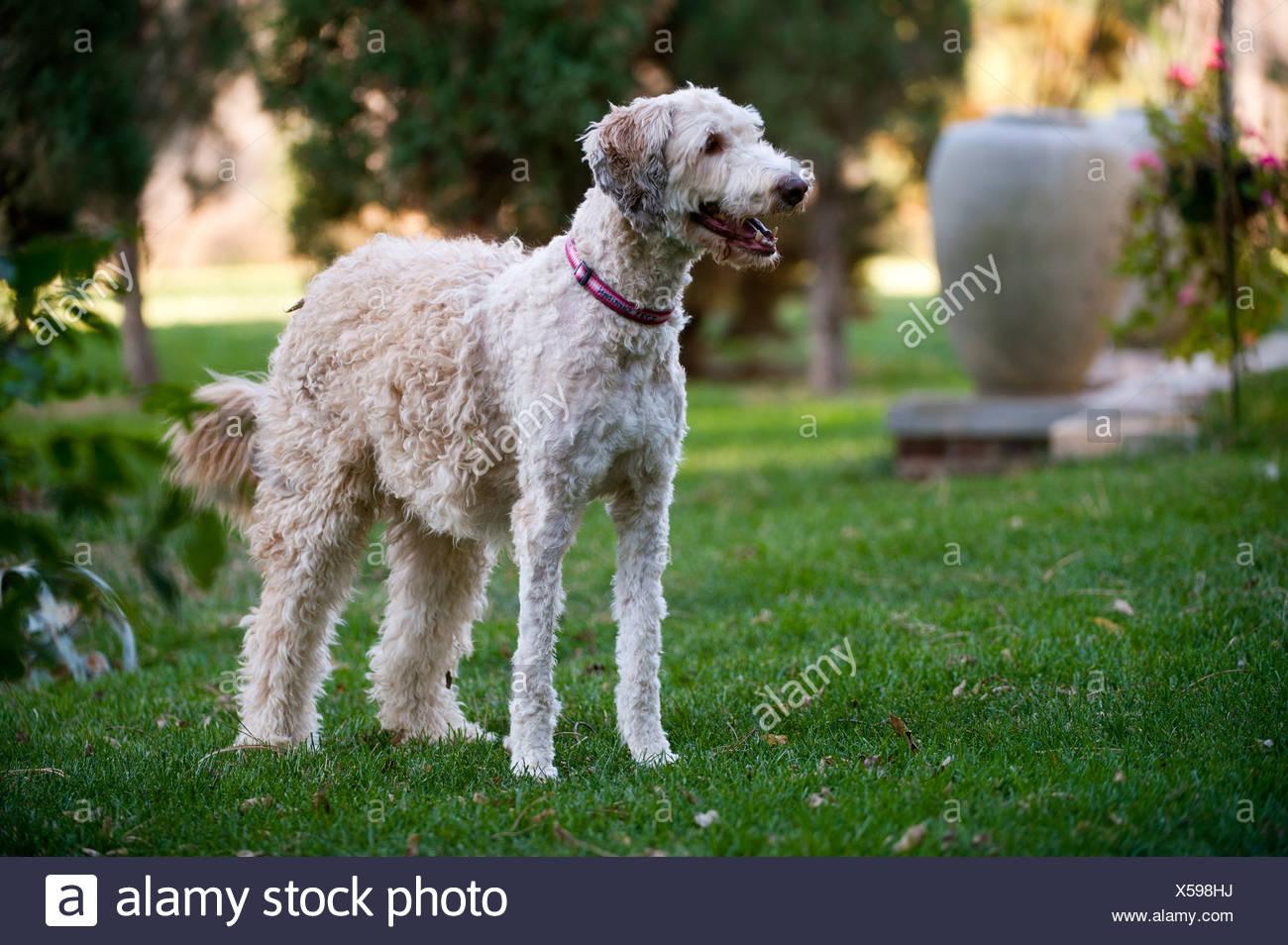 A family pet, half shaved, in Lincoln, Nebraska. - Stock Image